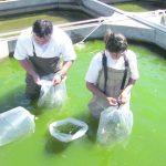 Observar el color del agua para alimento de los peces